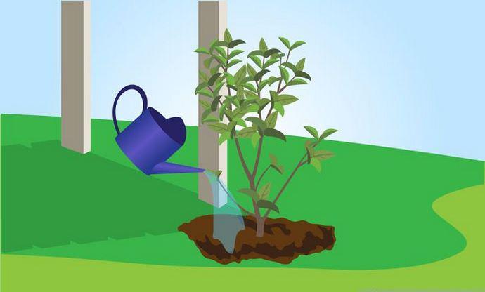 На даче куст жасмина необходимо периодически поливать